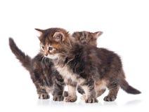 Gatinhos siberian macios Imagem de Stock