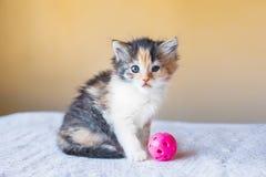 Gatito abigarrado tricolor hermoso con la bola del juguete edad 3 meses Fotos de archivo libres de regalías