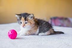 Gatito abigarrado tricolor hermoso que busca una bola del juguete edad Imágenes de archivo libres de regalías