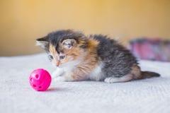 Gatito abigarrado tricolor hermoso que juega con la bola del juguete edad Imagen de archivo libre de regalías
