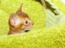 Gatito abisinio Fotos de archivo libres de regalías