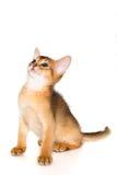 Gatito abisinio Fotos de archivo