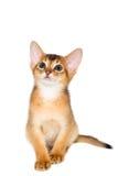 Gatito abisinio Foto de archivo libre de regalías