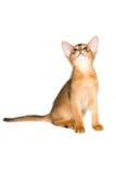 Gatito abisinio Imagen de archivo libre de regalías