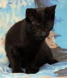 Gatito adolescente joven del shorthair en un fondo azul Foto de archivo