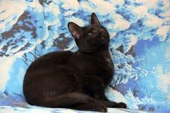 Gatito adolescente joven del shorthair en un fondo azul Foto de archivo libre de regalías