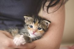 gatito adoptado viejo del calicó de 3 semanas en los brazos de una señora joven imagenes de archivo