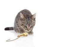 Gatito agazapado y que mira en el fondo blanco Imagen de archivo