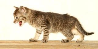 Gatito agresivo Imagenes de archivo