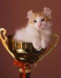 Gatito americano del enrollamiento Fotografía de archivo libre de regalías
