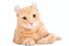 Gatito americano del enrollamiento aislado en blanco fotografía de archivo