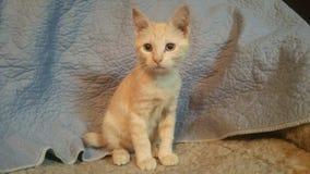 Gatito anaranjado de la cola cortada del americano del gato atigrado imagen de archivo