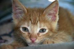 Gatito anaranjado del gato atigrado Foto de archivo libre de regalías