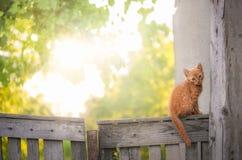 Gatito anaranjado en una cerca rústica Foto de archivo