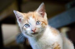 Gatito anaranjado y blanco del gato atigrado con los ojos azules Imagenes de archivo