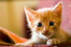 Gatito asustado rojo Foto de archivo libre de regalías