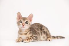 Gatito azul de Bengala Fotografía de archivo libre de regalías