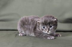 Gatito azul del mapache de Maine Imágenes de archivo libres de regalías