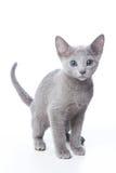 Gatito azul ruso Foto de archivo libre de regalías