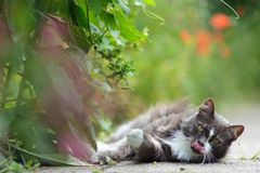 Gatito bastante gris que lame su boca Imágenes de archivo libres de regalías