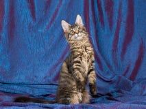 Gatito bastante negro de la bujía métrica del Coon de Maine del tabby Imagen de archivo