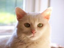 Gatito blanco Fotografía de archivo libre de regalías
