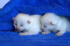 Gatito blanco Foto de archivo
