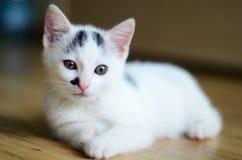 Gatito blanco Fotos de archivo libres de regalías