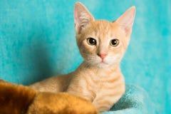Gatito blanco anaranjado del gato atigrado Fotos de archivo libres de regalías