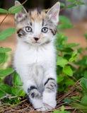 Gatito blanco del gato atigrado del tabico del calicó Imagenes de archivo