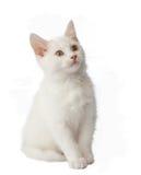 Gatito blanco en blanco Imagenes de archivo