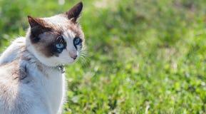 Gatito blanco en un césped verde Ojos azules hermosos Foto de archivo