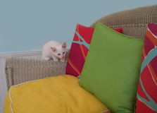 Gatito blanco en una silla de mimbre con las almohadas Imagen de archivo libre de regalías