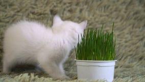 Gatito blanco, hierba en conserva de las aspiraciones metrajes