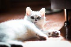 Gatito blanco mullido Primer lindo, querido, hermoso del gatito Gatito en el ajuste natural de la casa fotos de archivo libres de regalías