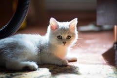Gatito blanco mullido Primer lindo, querido, hermoso del gatito Gatito en el ajuste natural de la casa imágenes de archivo libres de regalías