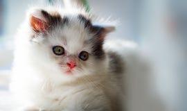 Gatito blanco mullido Primer lindo, querido, hermoso del gatito Kitty recto escocés en un ajuste natural en casa imagenes de archivo