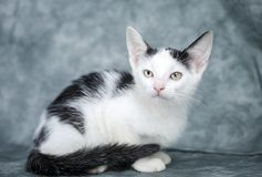 Gatito blanco y negro imagenes de archivo