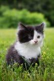 Gatito blanco y negro Foto de archivo
