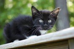Gatito blanco y negro Imágenes de archivo libres de regalías