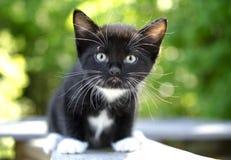 Gatito blanco y negro Fotografía de archivo
