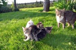 Gatito-bola que lleva de la madre Fotos de archivo libres de regalías