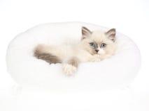 Gatito bonito de Ragdoll en la cama blanca de la piel Fotos de archivo libres de regalías