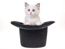 Gatito bonito de Ragdoll en sombrero superior Imágenes de archivo libres de regalías