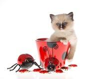 Gatito bonito de Ragdoll en taza del ladybug Foto de archivo libre de regalías