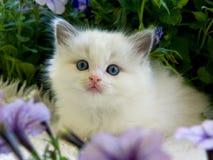 Gatito bonito lindo de Ragdoll con la petunia