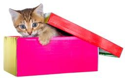 Gatito brindled de Shorthair ocultado en un aislante hermoso de la caja de regalo imagenes de archivo