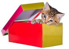 Gatito brindled de Shorthair ocultado en un aislante hermoso de la caja de regalo fotografía de archivo libre de regalías
