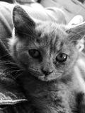 Gatito británico de Shorthair Foto de archivo libre de regalías