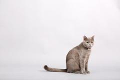 Gatito británico de Shorthair Imagen de archivo libre de regalías